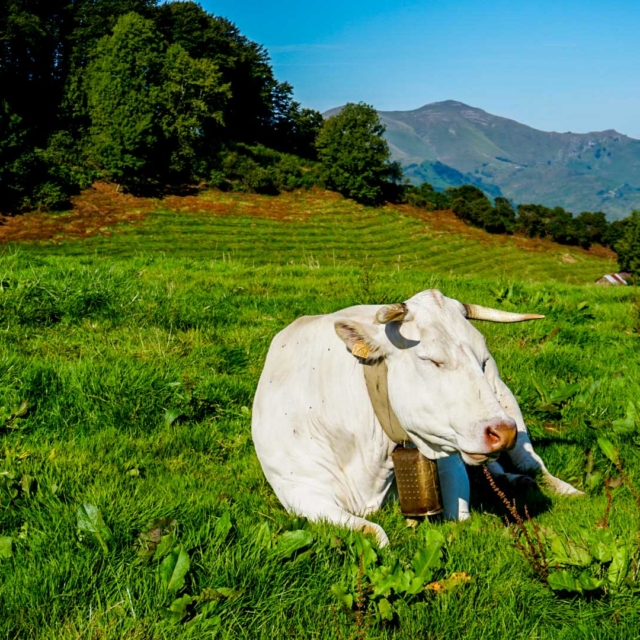 A cow with a bell in a field.