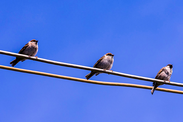 Three Sparrows.